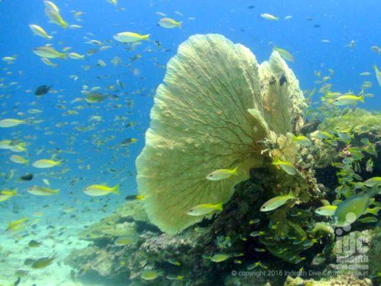 Nice Sea Fan at Racha Yai Bay 1