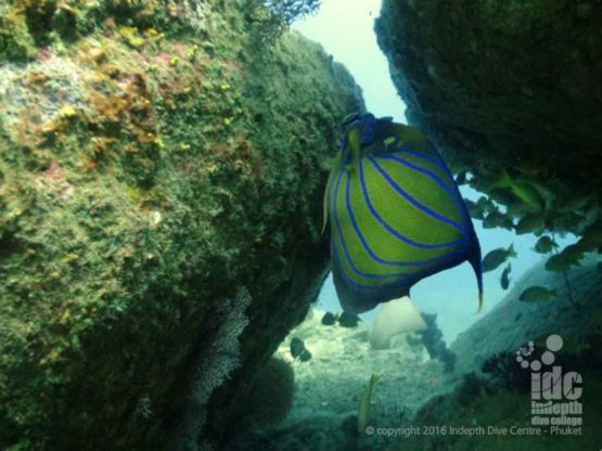 Angel Fish amongst the Corals of Siam Bay Phuket