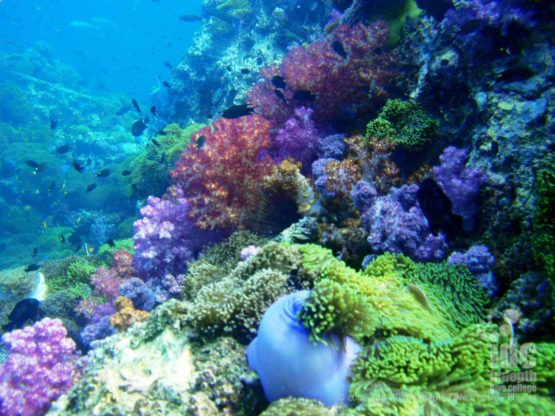 Colour Soft Corals at Anemone Reef Coral Reef Conservation Phuket