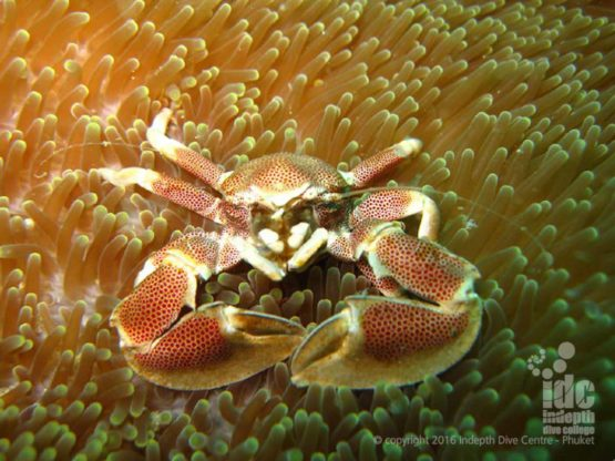 There are many different crabs to photograph in on an Andaman Sea Liveaboard Safari