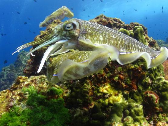 Cuttle Fish mating at Ko Bida Nok