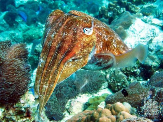 Diving on a Rebreather Cuttlefish can be found at Fan Forest Pinnacle