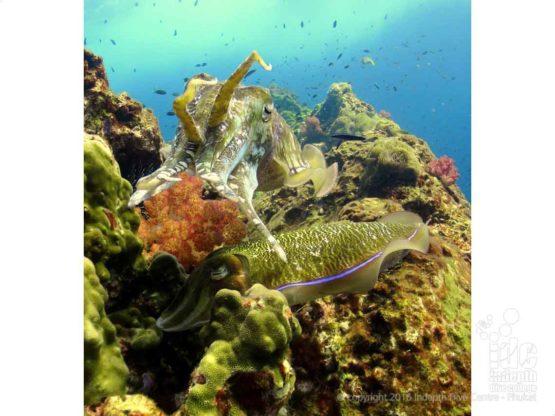Cuttlesish are found at Shark Point on Phuket Thailand