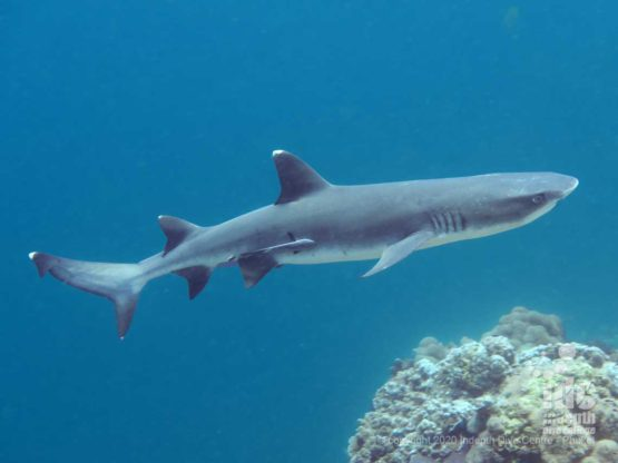 Whitetip Reef Sharks are a common find when diving Deep Six
