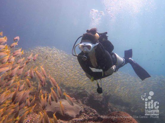 Resident school of Yellow Snappers at Hin Bida - Scuba Diving Phi phi islands