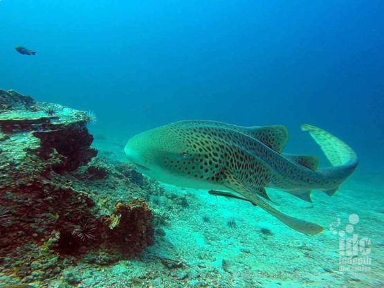 Diving with Leopard Sharks with Indepth Dive Centre at Hin Bida