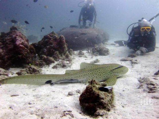 Diving with sharks is awesome on AWARE Shark Conservation with Indepth on Phuket