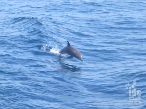 You can often see Dolphines on a Phuket Dive Tour between Racha Yai and Noi