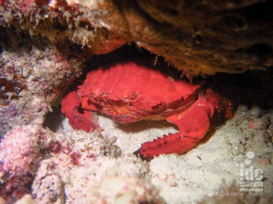 Crabs are a common find when night diving Similan Islands Donald Duck bay