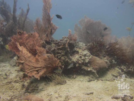 Coral at Donald Duck Bay seen on a Similans Liveaboard with Indepth Dive Centre