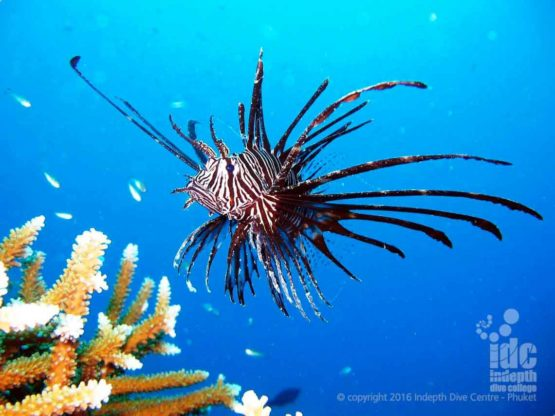 Dragon Head Lion Fish seen at High Rock by a rebreather diver