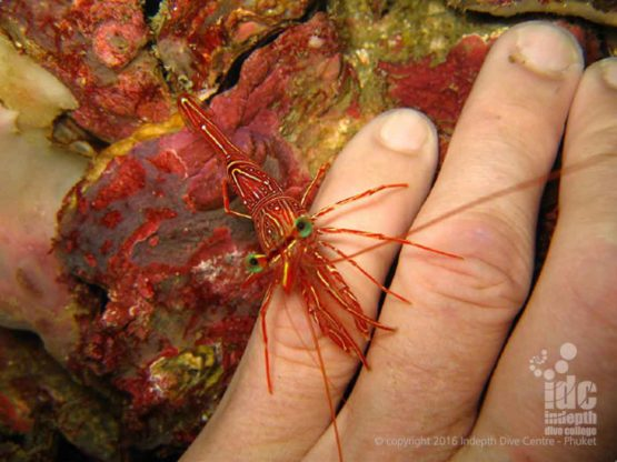 Durban Dancer Shrimps are plentiful on Phuket Dive Sites