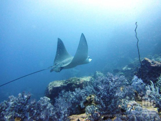 If lucky you might get to dive with an Eagle Ray at Racha Noi