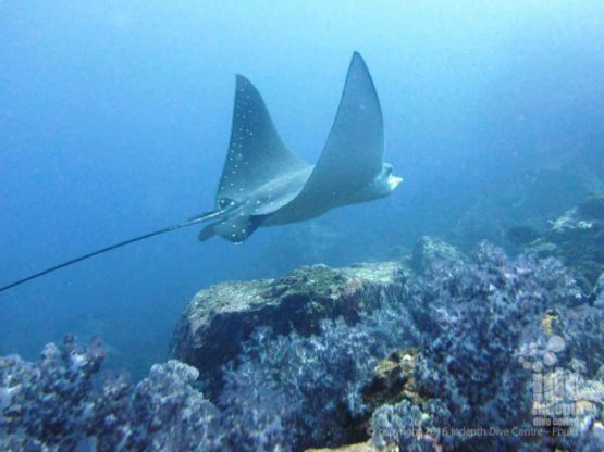 Eagle Rays can be seen at Black Rock in Burma with Indepth Dive Centre