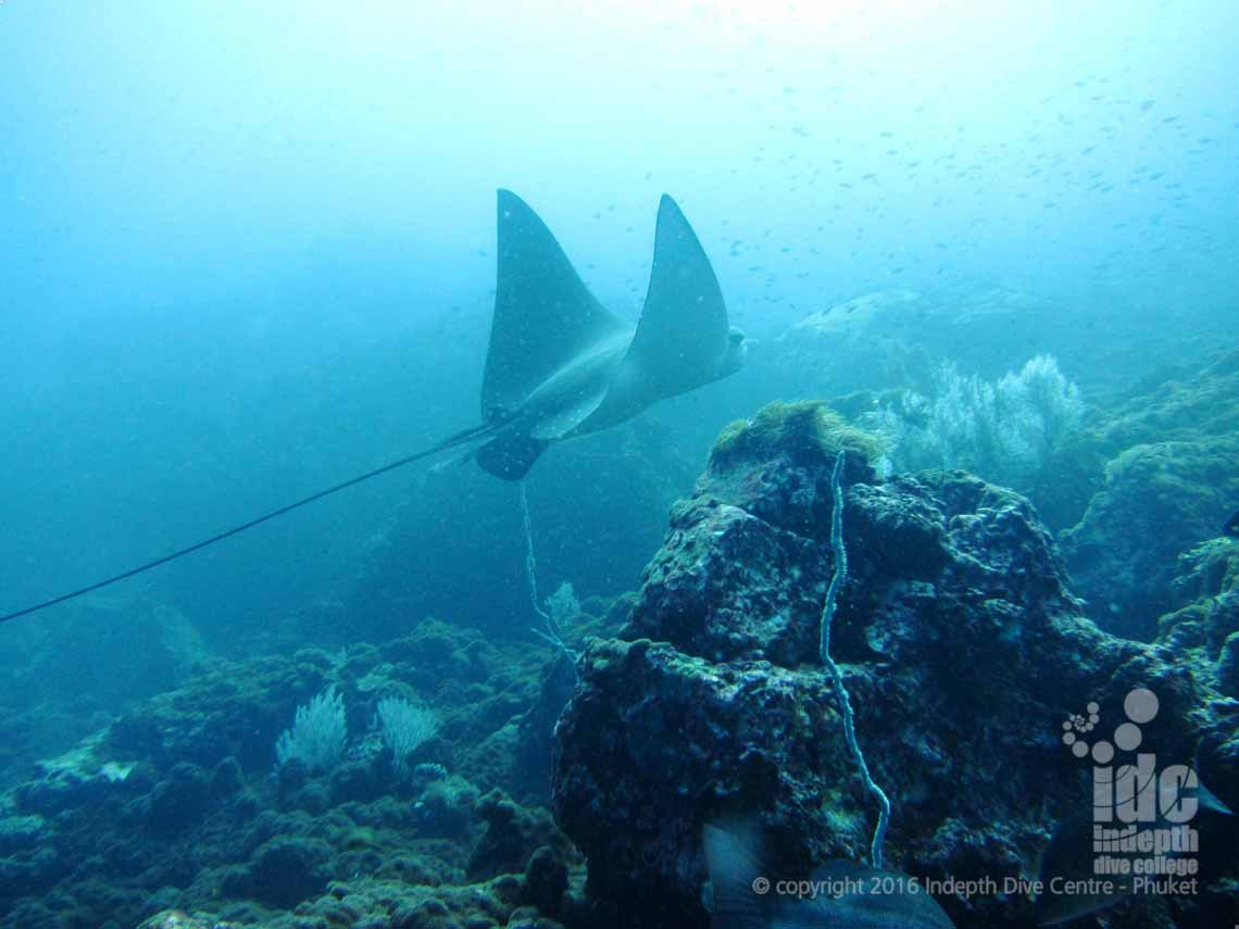 An Eagle Ray in Banana Bay on Racha Noi during a PADI Fish ID Course