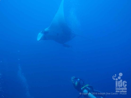 Would you like to dive with Manta Rays at Elephant Head Rock?