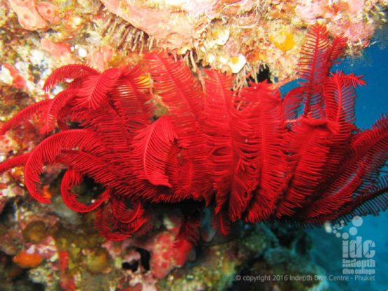 Nice macro shot of a red Feather Star on a Coral Reef Conservation Course