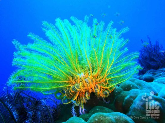 Feather Stars are typical Similan Island Marine Life