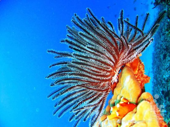 Coral Reef Conservation: Feather Star on top of a Hard Coral on Phuket