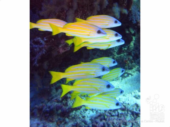 Bring your camera to your PADI Fish ID Course to take some photos of schooling snappers