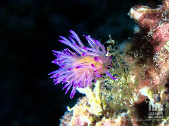 Beautiful flabellina nudibranch at High Rock - Myanmar Liveaboard dive sites