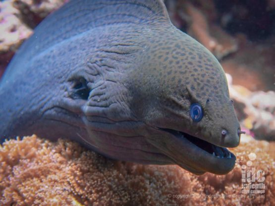 Giant Moray eels are an easy find on the reef of Koh Bida Nok