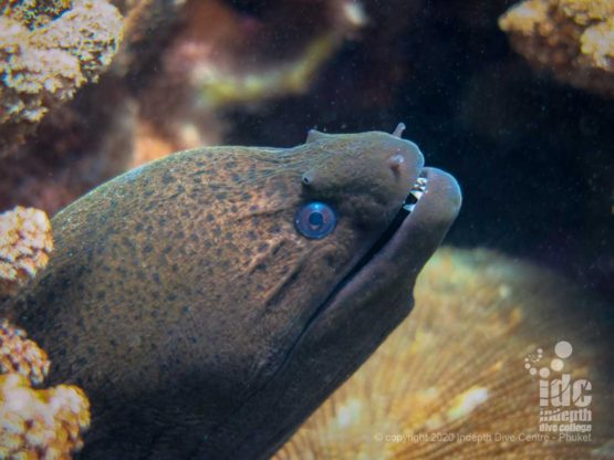 Giant Moray Eel while diving Siam Bay Racha Yai Island