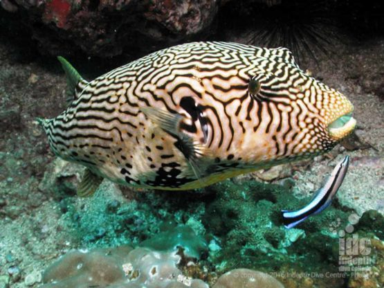 Giant Puffer fish and Cleaner Wrasse on a Phuket dive