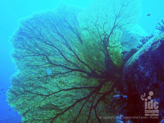Gorgonian Sea Fans on a Burma Liveaboard to Twin Cheeks