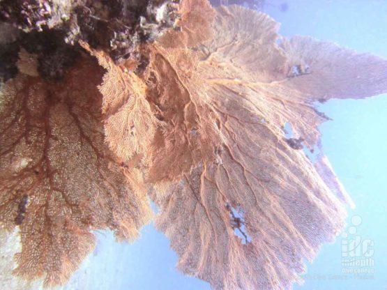 Fan Forest Pinnacle has many huge Gorgonian Sea Fans and Reefs