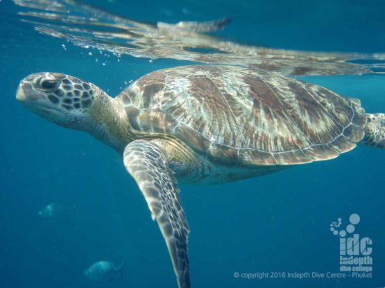 Donald Duck Bay has many Green Turtles in The Similans National Park