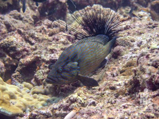 Grouper at Homerun Reef Racha Yai