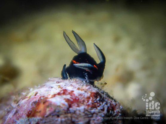 Keep an eye for macro life when diving Honeymoon bay Similan Islands