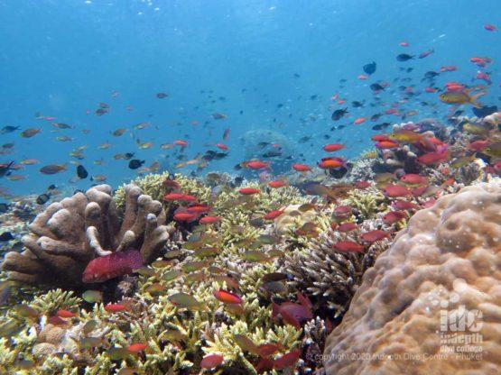 Pristine hard corals on the inside of Koh haa Lagoon