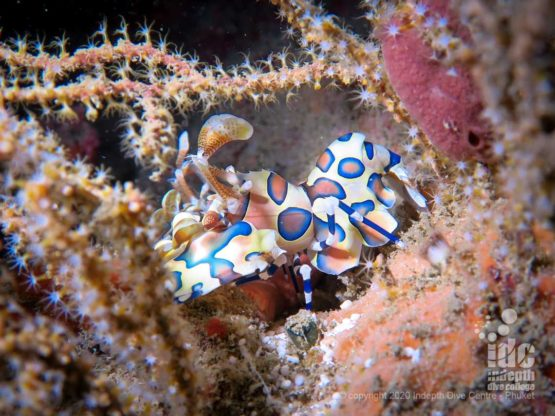 The beautiful Harlequin Shrimp is a frequent find at Fan Forest Pinnacle Dive Site in Myanmar