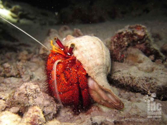 Hermit crab at Turtle Rock dive site - Phi Phi Islands Diving