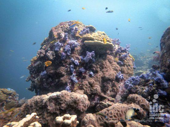 Pristine corals at Hin Daeng Thailand