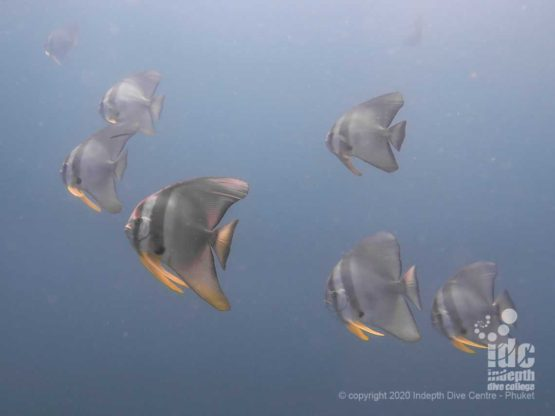 Curious batfish (platax) often follow the divers during their dive at Hin Muang Dive Site