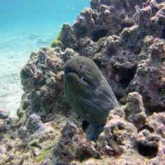 Homerun Reef is a great Phuket dive site for Moray Eels