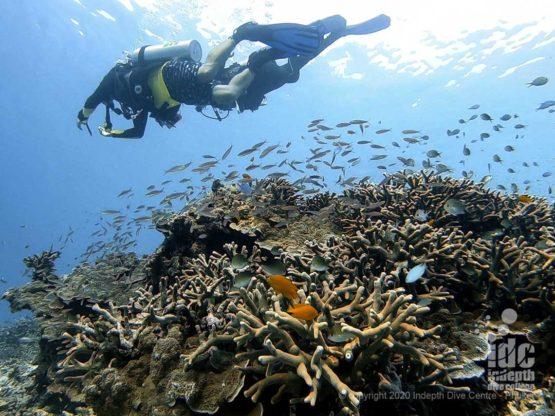 Very healthy hard corals at Honeymoon Bay