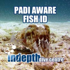 Its easy to spot a cuttlefish during your PADI Fish ID course dives on Phuket