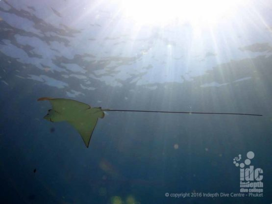 Indepth Dive Centre diving with Eagle Rays at Banana Bay Raja Noi Island