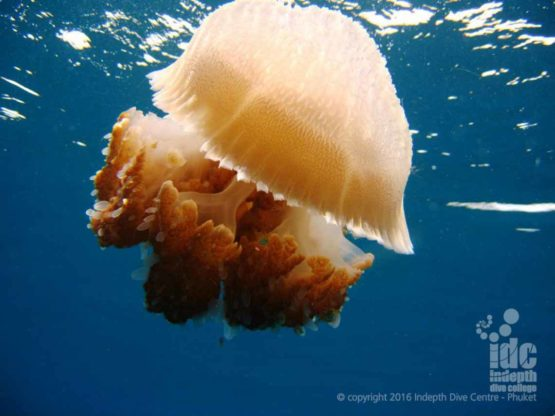 If you lucky you might see a Jelly Fish scuba diving in the Andaman Sea