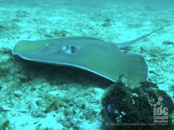 Jenkins Whip Spray Ray found at Three Islets