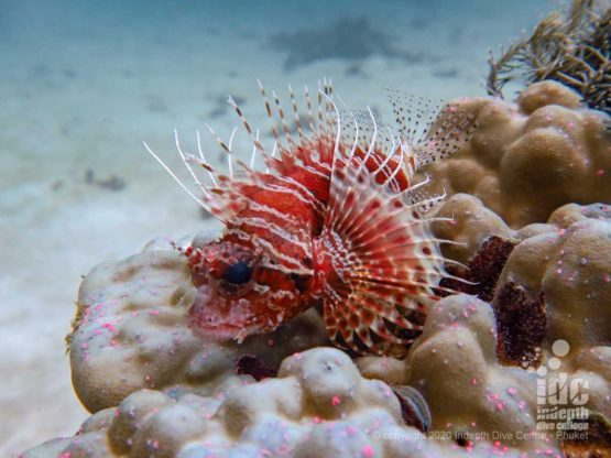 Juvenile lionfish at Kata Beach diving