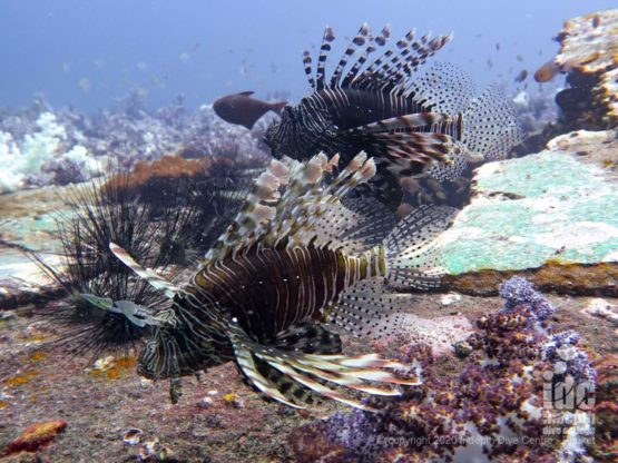 King Cruiser Wreck in Phuket is teeming with Lionfish