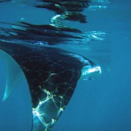 Manta Ray at Ko Bon Pinnacle in The Surin Islands Thailand