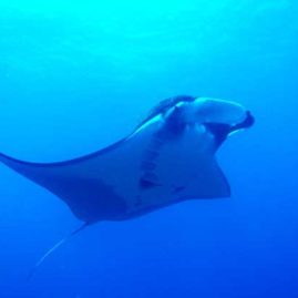 Ko Bon West Ridge is another of the Similan & Surin Islands best chances of diving with Mantas