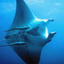 Ko Tachai Pinnacle is the best Dive Site for Mantas