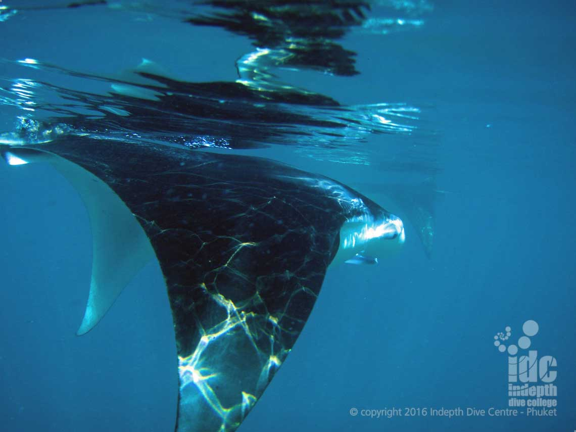 Dive Ko Bon Pinnacle with Indepth Dive Centre: your chance to see Manta Rays near the surface!!!